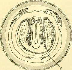 """Image from page 306 of """"Zeitschrift für wissenschaftliche Zoologie"""" (1912)"""