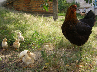 Brood-Hen with Chikens