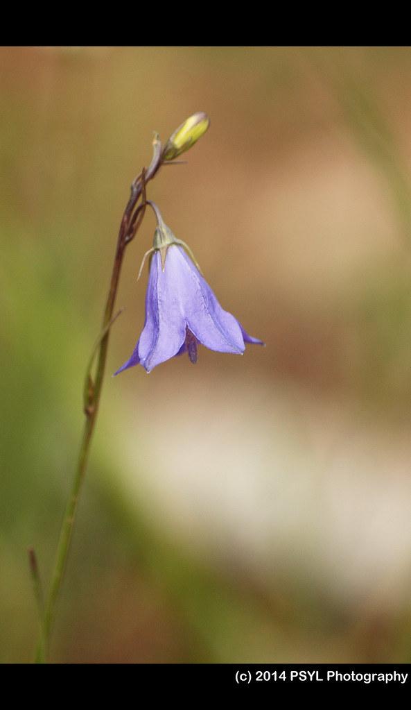 Harebell (Campanula sp.)