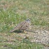 Wh-Crowned Sparrow AHM 3-20-14