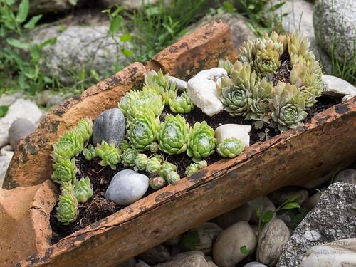 alter Dachziegel bepflanzt mit Hauswurz