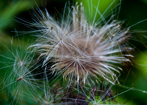 08-16-14 Thistle Seeds