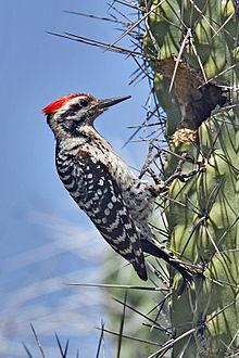 220px-Ladder-back_Woodpecker_on_Cactus