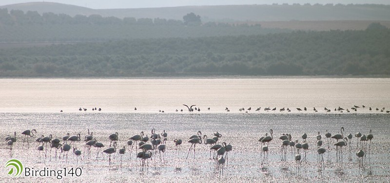 Flamingos in the Lake of Fuente de Piedra