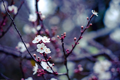morning cherry