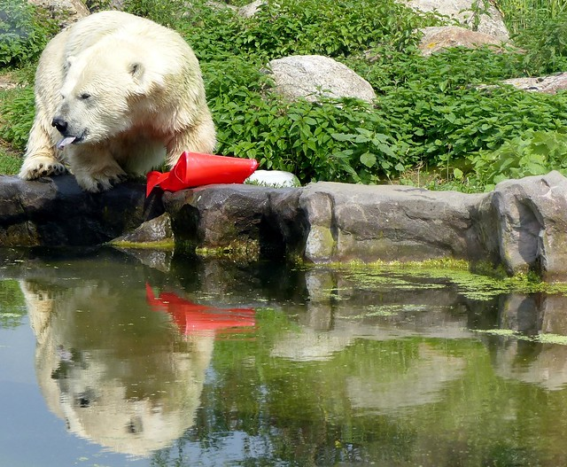 dwarfism Polar Bear Antonia