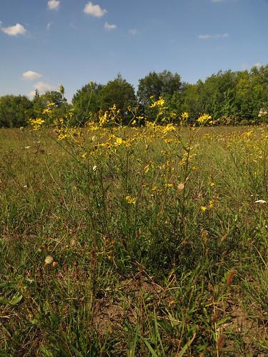 flower wet yellow meadow diversity asteraceae senecio ragwort seneciojacobaea jacobaea greiskraut marshragwort senecioaquaticus aggófű jakabnapiaggófű wassergreiskraut jacobaeaaquatica