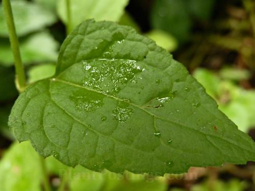 mistflower foliage