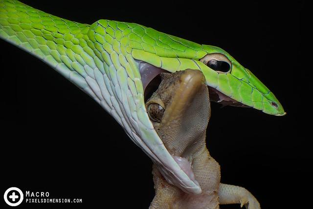 Malayan vine snake feasting- Ahaetulla mycterizans