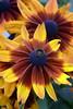 Rudbeckia hirta (Black-Eyed Susan) 'Autumn Color'
