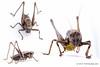 Pholidoptera_griseoaptera-male.jpg