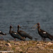 uttampegu posted a photo:	Red Naped Ibis in Ghasa Gadhel Talab in Sep 2014