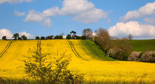 england horses yellow northamptonshire bluesky olympus rollinghills horseriding fluffyclouds fieldsofgold rapeseedflowers epl1 mickyflick