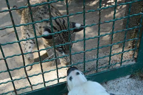 leopardus geoffroyi by Joachim S. Müller
