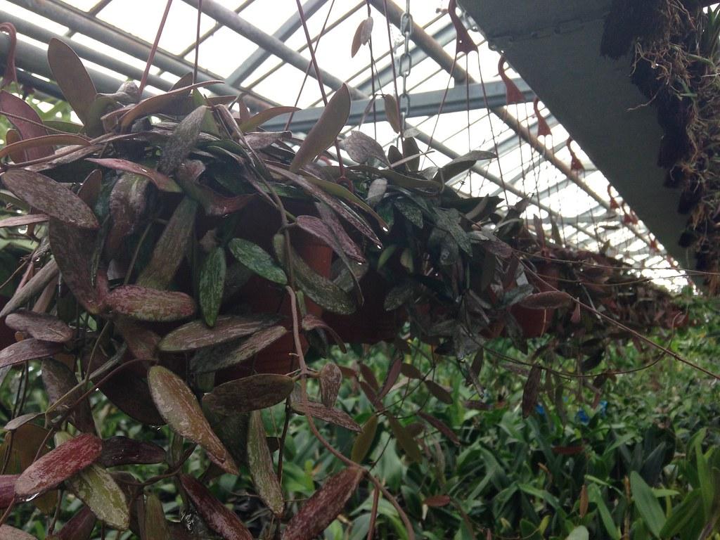 Orchidarium de Prangins 19119380698_953b2ce94d_b