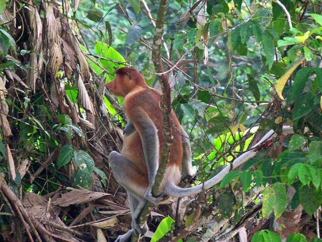 Mono narigudo (proboscis) en el río Kinabatangan (Borneo, Malasia)