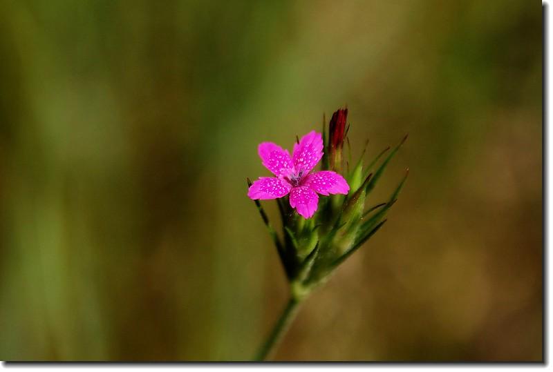Deptford Pink 1