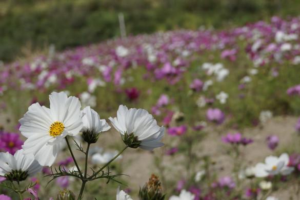 Nakagusuku Cosmos Field: White Cosmos - Okinawa, japan