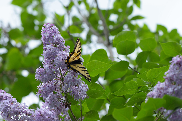 Lilac and Swallowtail