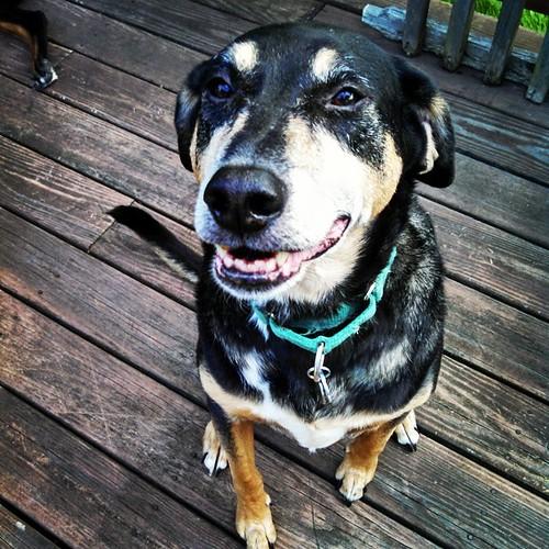 Tut says Good Morning IG! #dogstagram #rescued #coonhoundmix #smile #love #smiling #ilovemydogs #seniordog