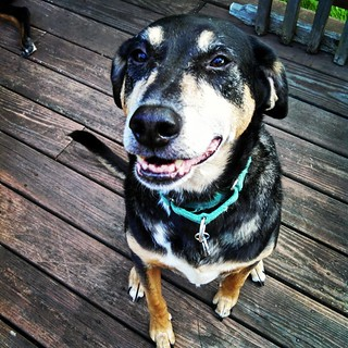 Tut says Good Morning IG! #dogstagram #rescued #coonhoundmix #smile #love #smiling #ilovemydogs #seniordog