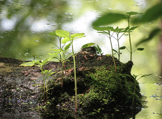 Mossy log in the pond