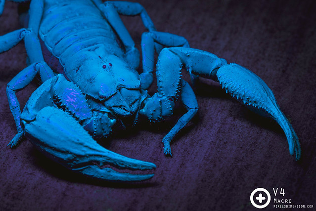 Giant Forest Scorpion (Heterometrus spinifer) glowing under UV light