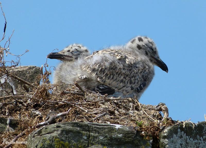 P1070913 - Juvenile Herring Gulls, Conwy