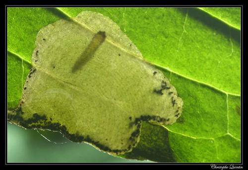 Larve de Antispila metallella sur Cornus sanguinea