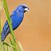 Blue Grosbeak by Brian E Kushner