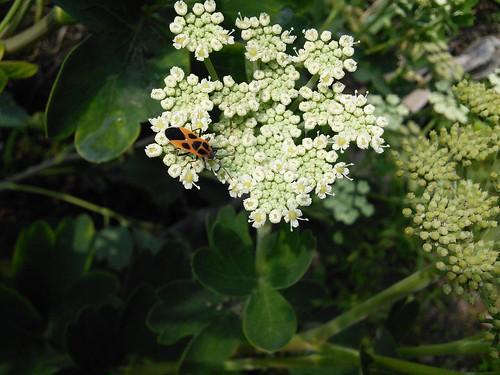 시골집풍경 | 곤충나라-흰점빨간노린재