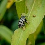 húszfoltos fűzlevelész - Chrysomela vigintipunctata