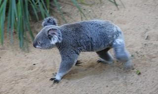 Koala at the Lone Pine Koala Sanctuary, Brisbane, April 20 1014.