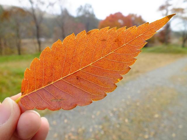 きれいな状態で落ちていたケヤキの葉.
