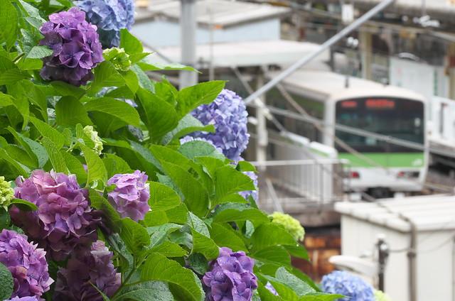 谷中路地裏散歩 諏方神社のアジサイ 2014年6月28日