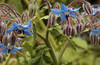 Borage and a bee