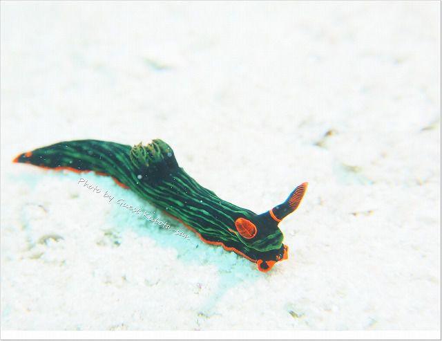 サンゴを歩いていたのに、急に砂地に落ちたアカフチリュウグウウミウシ