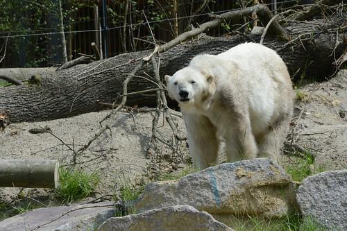Eisbärin Tina im Zoo de Mulhouse