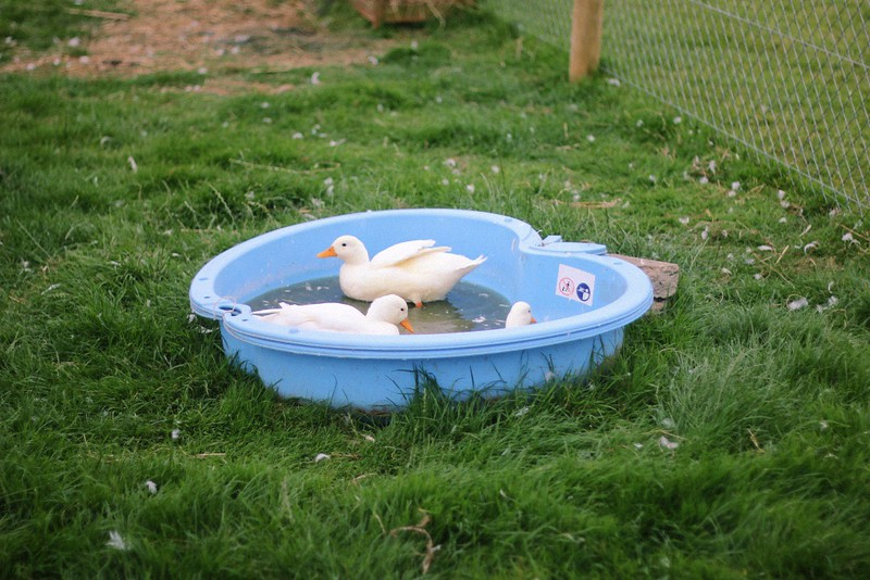 duckie pool