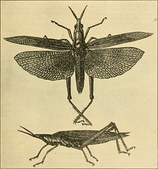 """Image from page 266 of """"A manual of dangerous insects likely to be introduced in the United States through importations"""" (1917)"""