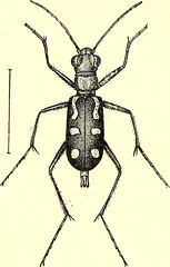"""Image from page 421 of """"Coleoptera : general introduction and Cicindelidae and Paussidae"""" (1912)"""