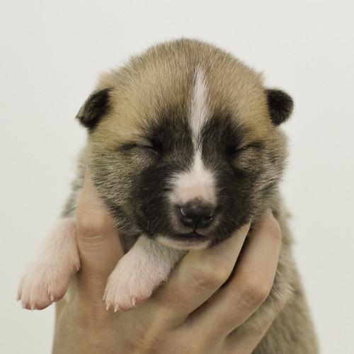 Anya-Litter1-10Days-Puppy5(Female)a