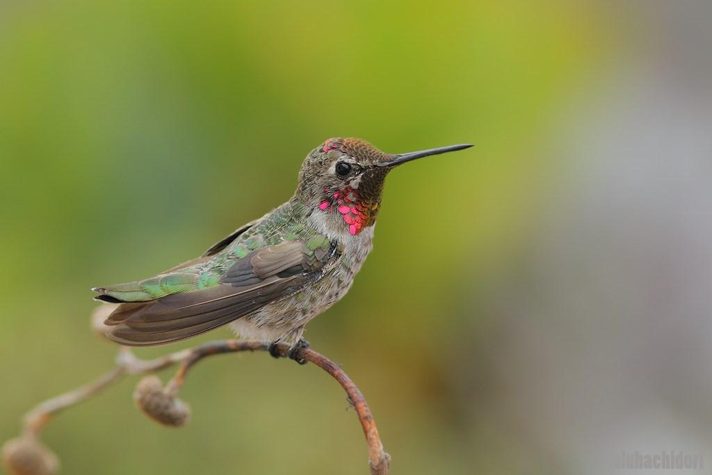immatua male Anna's Hummingbird 0807141
