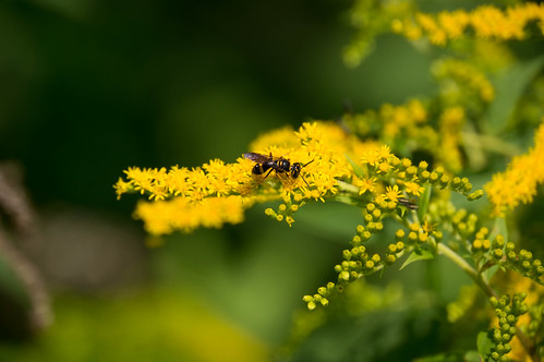 09235 Potter Wasp on Giant Goldenrod