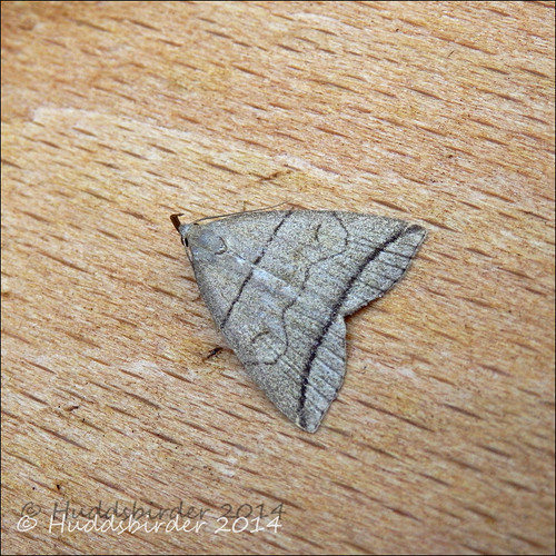 Small Fan-foot Moth - 2492