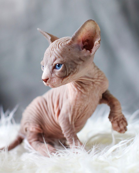 Sphynx kittens for sale  Welcome to sphynx world  Purchase
