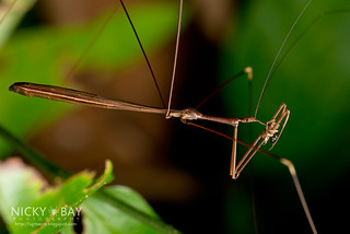 Thread-Legged Assassin Bug (Emesinae) - DSC_2590
