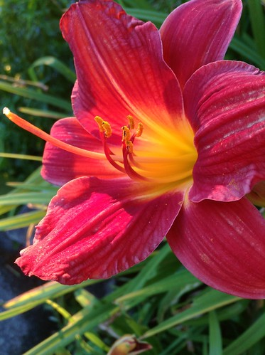 Day Lily on fire