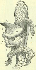 """Image from page 487 of """"On the anatomy of vertebrates [electronic resource]"""" (1866)"""