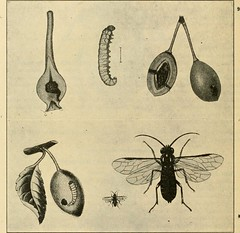 """Image from page 229 of """"A manual of dangerous insects likely to be introduced in the United States through importations"""" (1917)"""